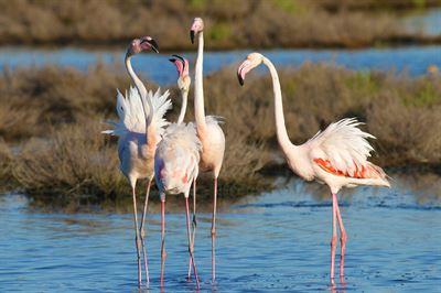 Flamingos, Parco Delta del Po © Roberto Maggioni