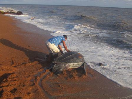 Eine riesiege Lederchildkröte wird zurück in den Antlantik geleitet (Foto: Romeo Defreitas)