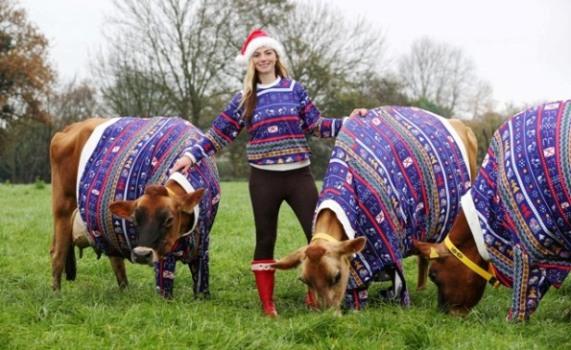 Becky Houzé und ihre Weihnachtskühe. Foto: Visit Jersey